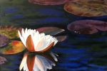 Calloway Water Lily