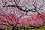 Spring Peach Orchard