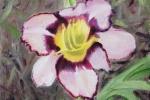 Daylily 4